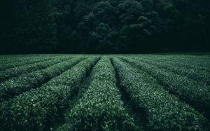 champ de thé puerh au yunnan